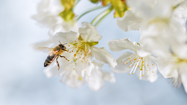 Pollination: as a bee collects nectar, pollen sticks to it and is taken to the next flower. The mixing of the pollen will result in fruit, in this case, cherries. The seeds are inside the fruit. ©Getty