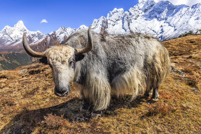 A yak male in summer on the Tibetan plateau. Photo©Getty
