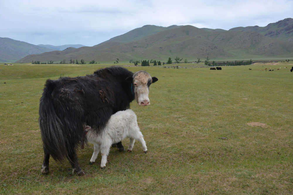 Female yak with newborn calf. ©Getty