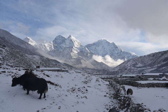 Domestic female yak near a village in Nepal in winter. ©Getty