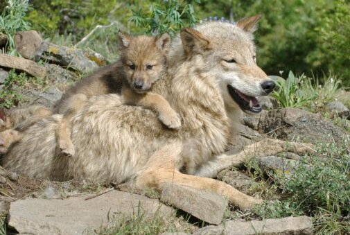 Grey wolf with her pup. ©Getty Images