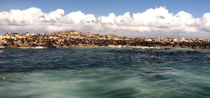 Dyer's Island - 50,000-60,000 seals - the prime snack for the Great Whites