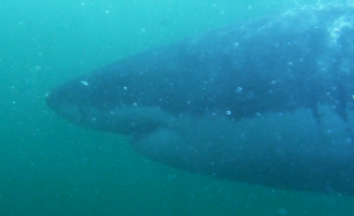 Another video still shot of a Great White swimming by