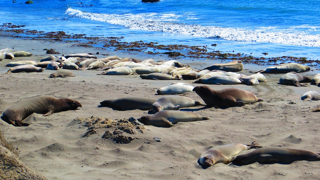Elephant seals chilling near San Simeon