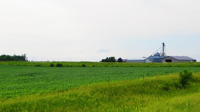 Baby corn field