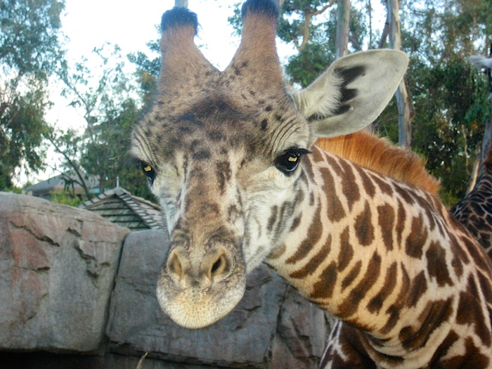 Friendly giraffe at San Diego ZooFriendly giraffe at San Diego Zoo