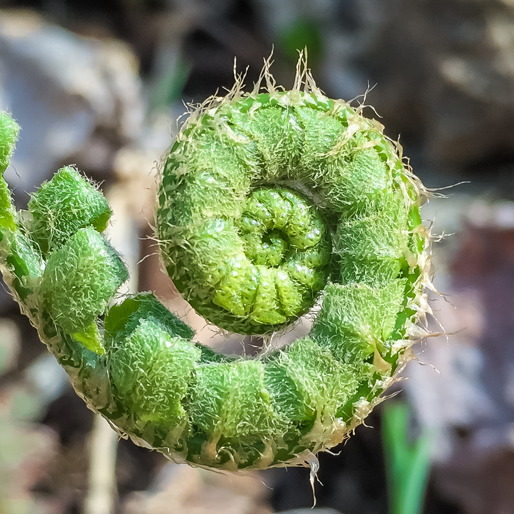 Unfurling Green Fiddle Head