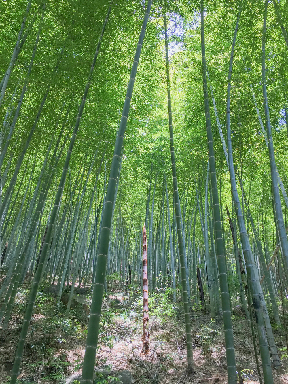 Bamboo forest near Long Shang Cun, Linan