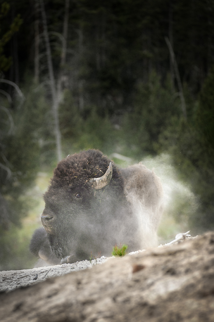 Bison rolling in the dirt at Yellowstone National Park