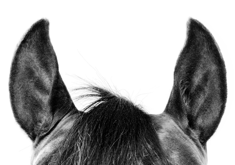 Animal photo horse head