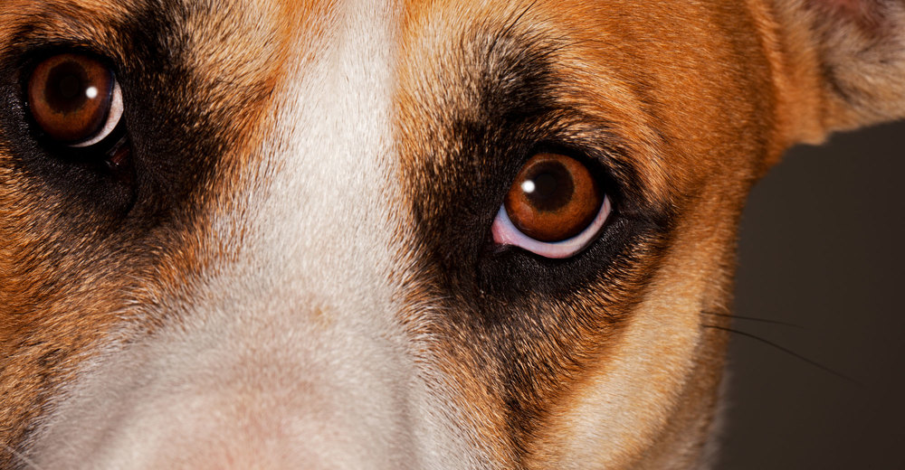 Dog eyes photographed by Steve Hoskins