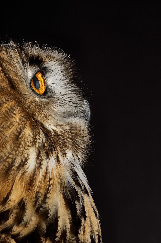 170609_Eagle_Owl.jpg
