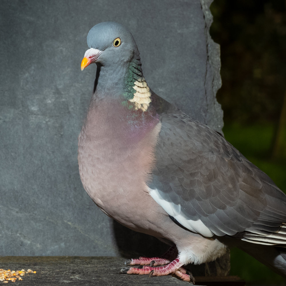 Pigeon_SJHL1397.jpg