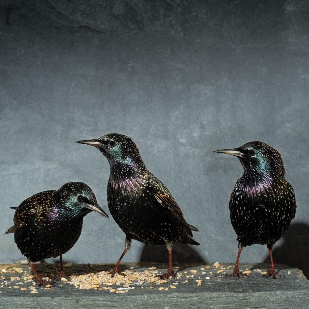 Starlings_SJHL1447.jpg