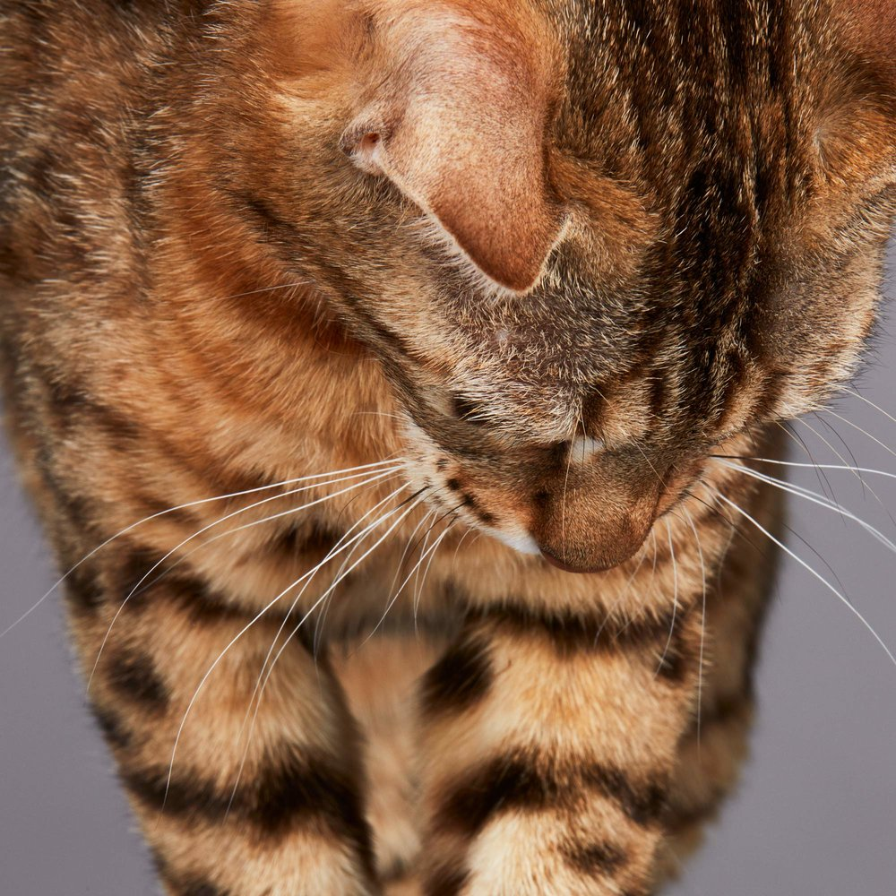 180628_Purina_Proplan_Bengal_Adult_Tweed_3980.jpg