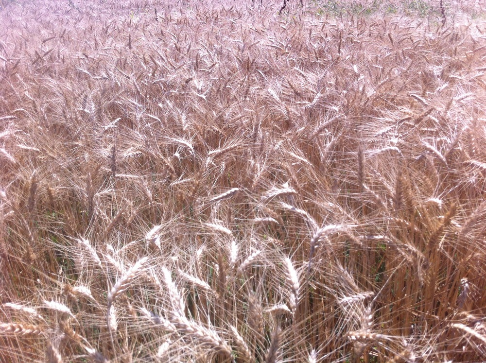 Appalachian White Wheat, drying down in the field, June, 2013