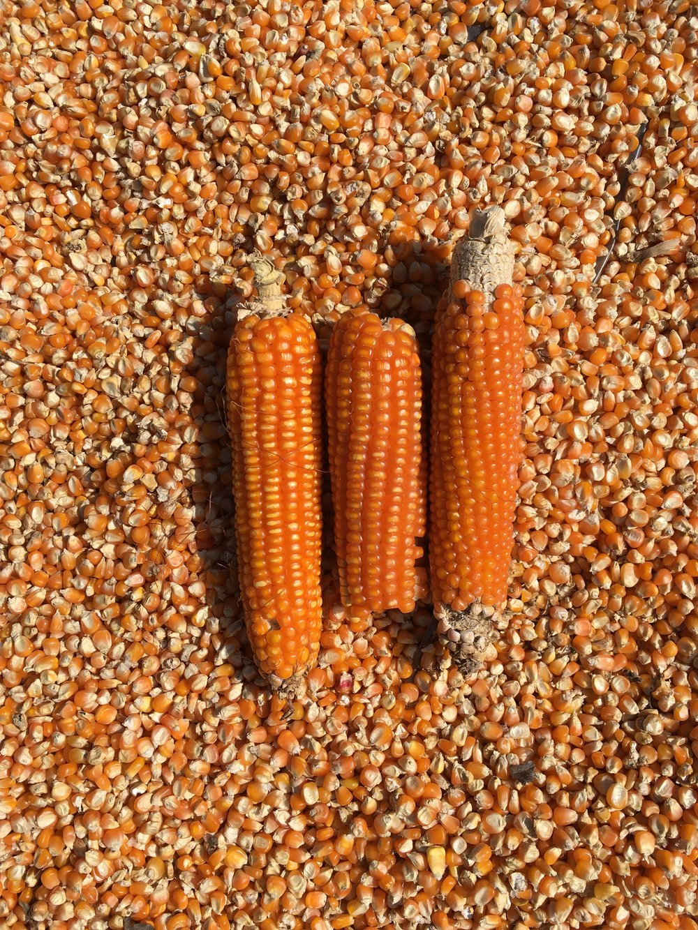 Cateto Orange Flint Corn, 2016