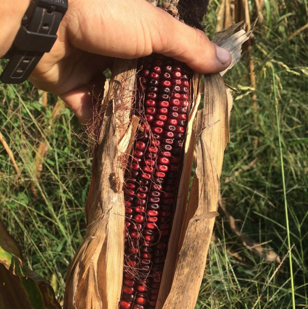 Bloody Butcher Dent Corn, almost ready for harvest, August, 2018