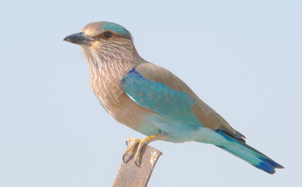 Indian_Roller_(Coracias_benghalensis)2.jpg
