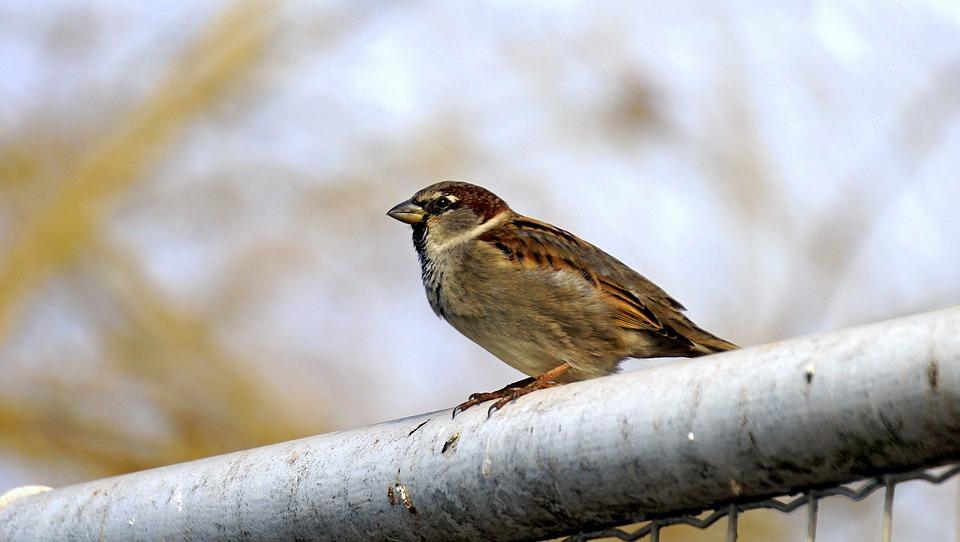 sparrow-1168558_960_720.jpg