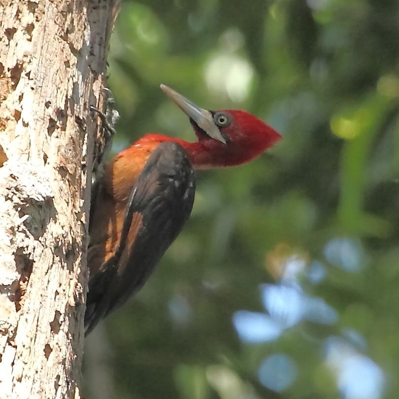 Campephilus_rubricollis_-_Red-necked_Woodpecker.JPG