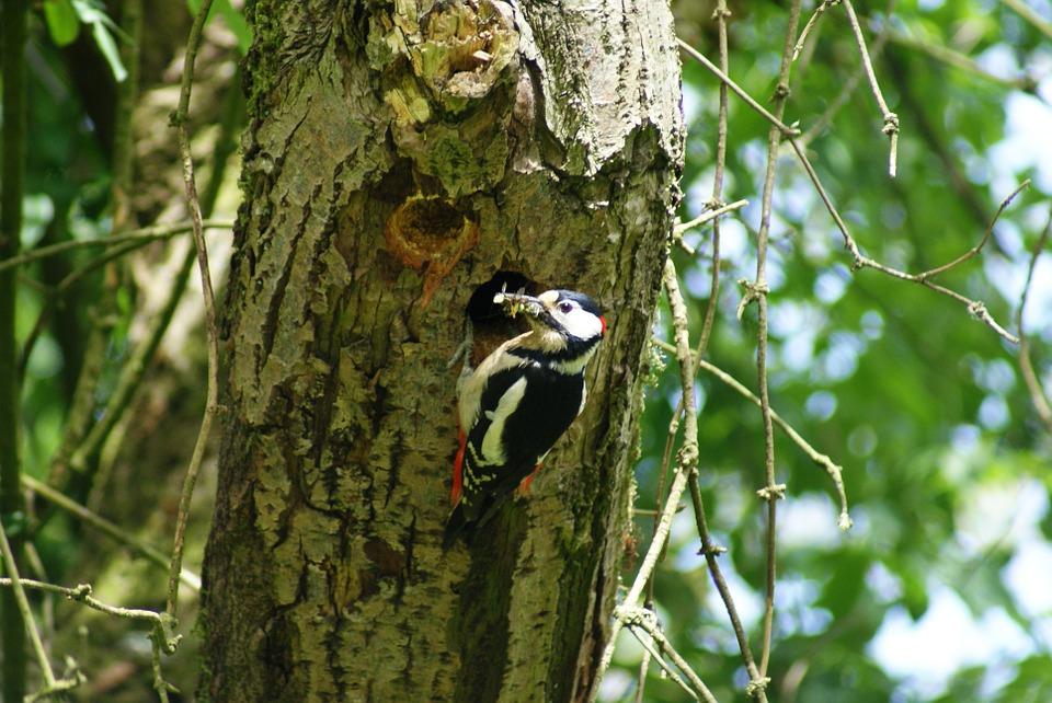 great-spotted-woodpecker-205589_960_720.jpg