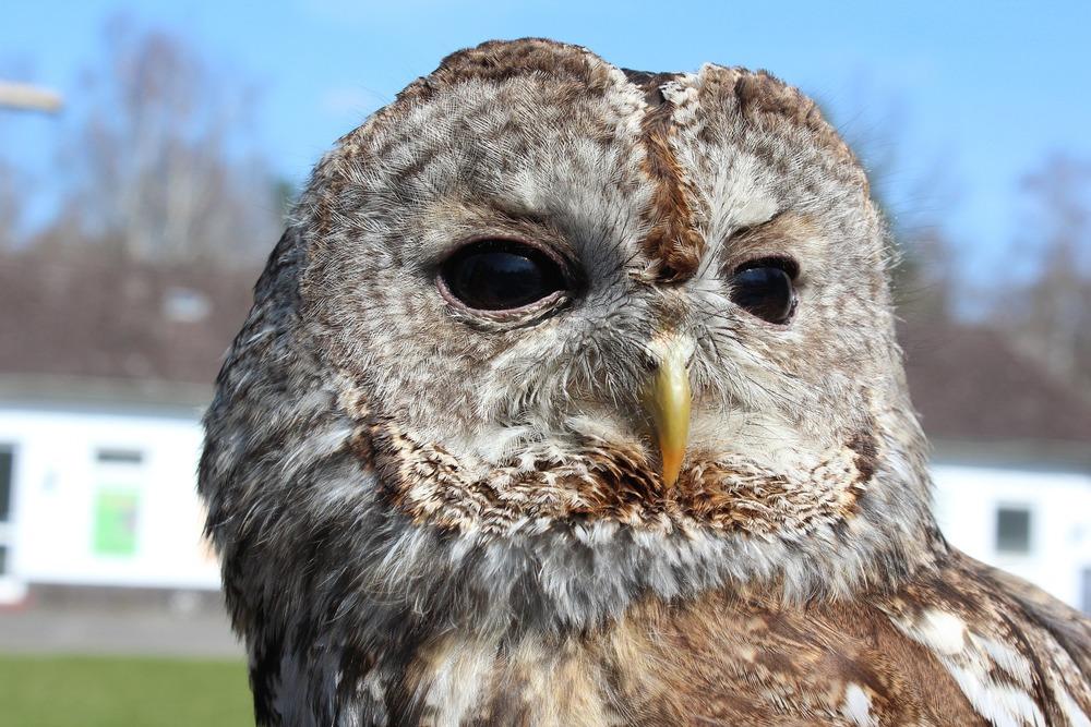 tawny-owl-1304292_1920.jpg