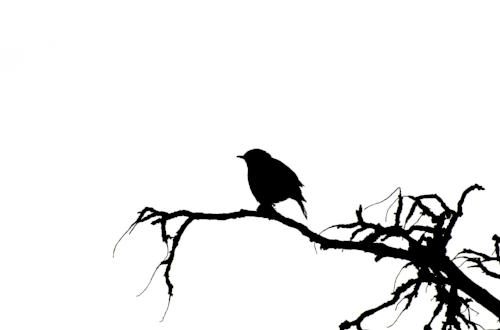 vector-silhouette-of-the-bird.jpg