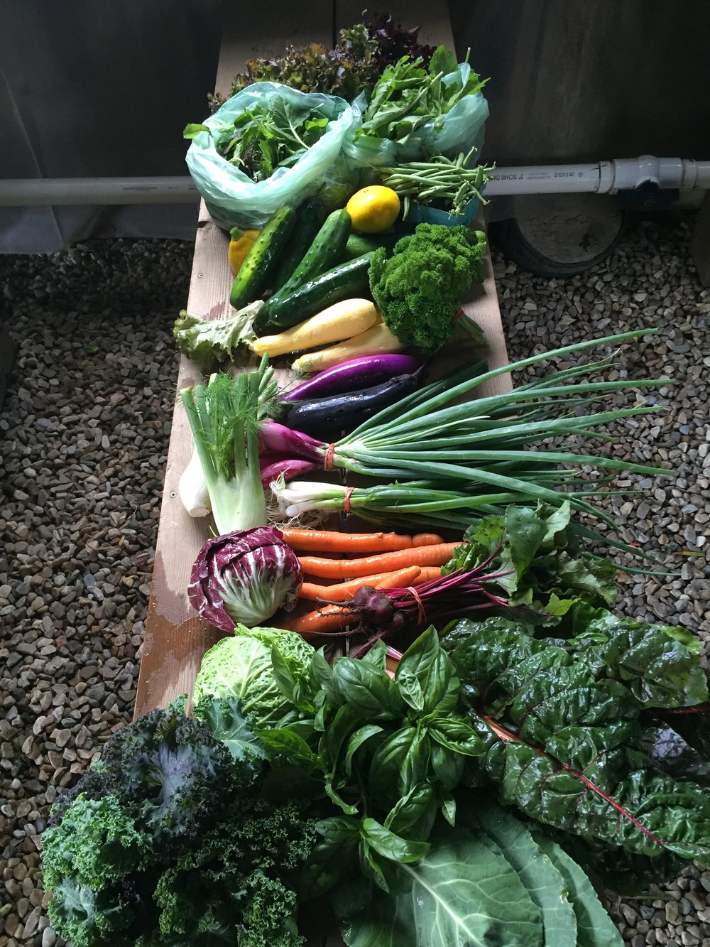 Here is an example of one of our more abundant shares in July! Of what is featured on the table, on-farm members u-picked the beans, parsley and basil, the rest was pre-harvested. Members were also given the choice between chard, kale and collards as well as the choice between fresh red onions and scallions, and choice between carrots and beets. So the actual share people walked away with included 11 crops total. We like to give our members options when possible!