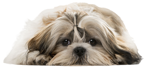Apply Here Bluegrass Shih Tzu Rescue