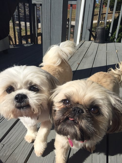 Bella And Gizmo Bonded Pair Adopted Together Bluegrass Shih Tzu