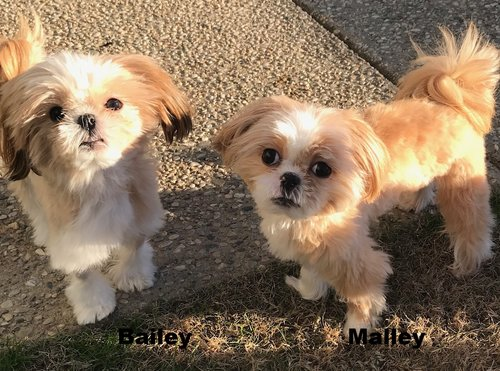 Bailey And Malley 12 4 17 Adoption Pending Bluegrass Shih Tzu Rescue