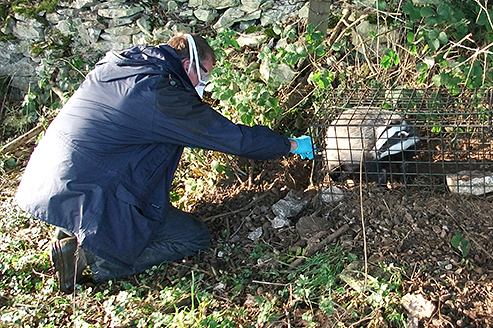 A badger receiving a vaccination against Bovine Tuberculosis (bTB) from one of our experienced Vaccinators before being released unharmed