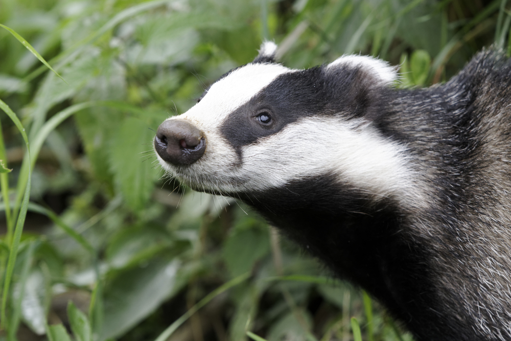 Badger Vaccination and Surveys