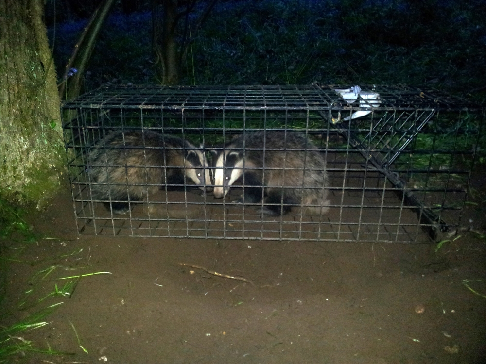 EcoCon are specialists in the humane trapping of badgers under licence.