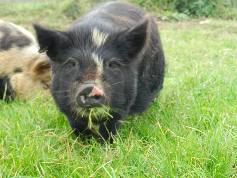 "Marupō    Name Meaning: ""night"" or ""dream"" in   Māori        Colour: Black & Cream    About:   Marupō   is a little bit of a shy piggy, she has a very gentle nature and tends to be bossed around by the others!   Marupō likes sunbathing and munching on lovely green grass. she is a non breeding female and is a companion piggy for our two breeding girls."