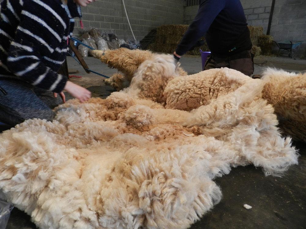 Shearing 2017 (33).JPG