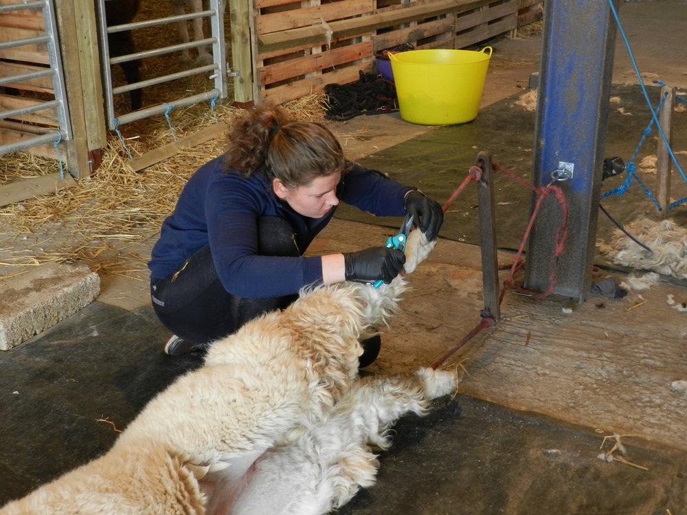 Shearing 2017 (63).JPG
