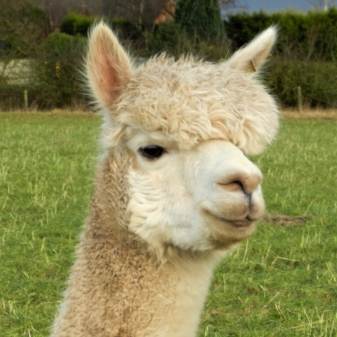 Victoria    DOB: 18/06/12    Colour: White    About: Victoria is a very confident alpaca, usually one of the first to greet you in the field waiting for attention and yummy treats. Victoria is also expecting her baby to arrive in June!