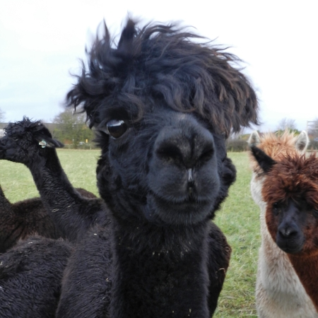 Scarlet    DOB: 12/09/08    Colour: Black    About: Scarlet is a beautiful alpaca with quite a strong personality. She is mother to tempeste and is expecting to be a mother again to her little one due in June!