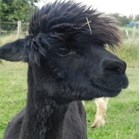 Edelweiss    DOB: 05/09/10    Colour: Black    About: Edelweiss is quite a shy alpaca, she enjoys sunbathing with her friends and munching on the tasty green grass!