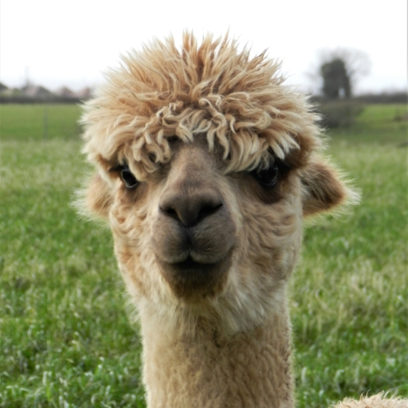 Pandora     DOB: 13/09/08    Colour: Medium Fawn    About: Pandora Is a confident alpaca and is always happy to accept a treat or two... (Or three...) Pandora is expecting a baby this year and we look forward to welcoming her little one in July!