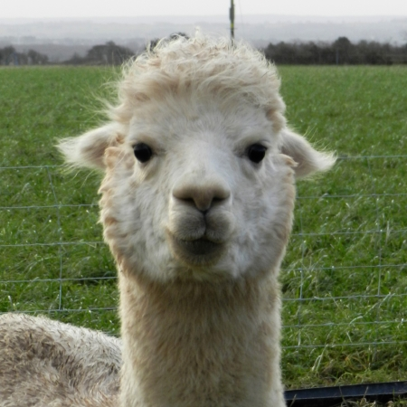 Loxleigh    DOB: 05.06.15    Colour: White    About: Daughter of Leda, Loxleigh is a shy little alpaca, she loves the be with her mum and the rest of the herd or can be found running around with her friends in the paddocks