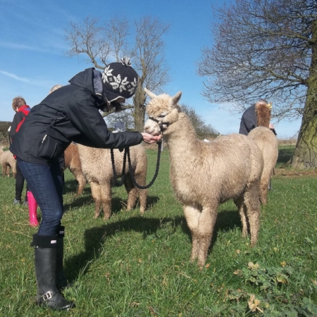 "A 90 min""Walk With Alpacas"" experience£35 -"