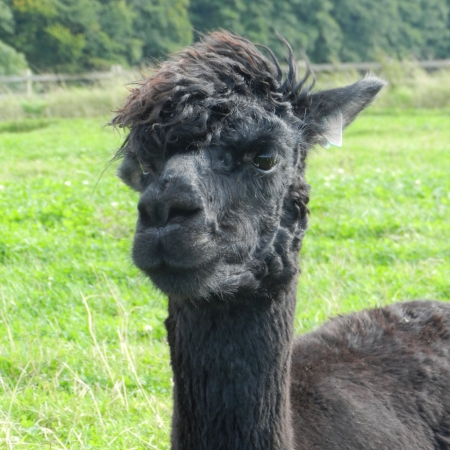 Fantasia    DOB: 07.06.2011    Colour: Black    About: Fantasia is a very elegant alpaca and is our tallest female. She is very friendly and loves to nibble at food pellets with her friends. Fantasia is pregnant and is due her new baby Cria in August.