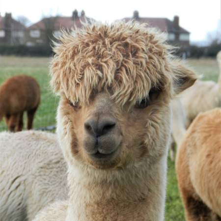 Calamity Jane    DOB: 14.08.2016    Colour: Medium Fawn    About: Calamity Jane is one of the youngest of 2016's arrivals. She is a very peaceful little alpaca and loves to relax in the fields and munch on grass all day.