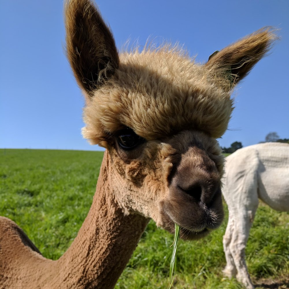 PERFECT STORM    DOB: 23/06/17    Colour: Medium Fawn    About: PErfect Storm is a confident little alpaca, born just last year she is already the first one to the fence to say hello and get some treats! Being daughter of windemere and stormy, she really is a perfect storm!