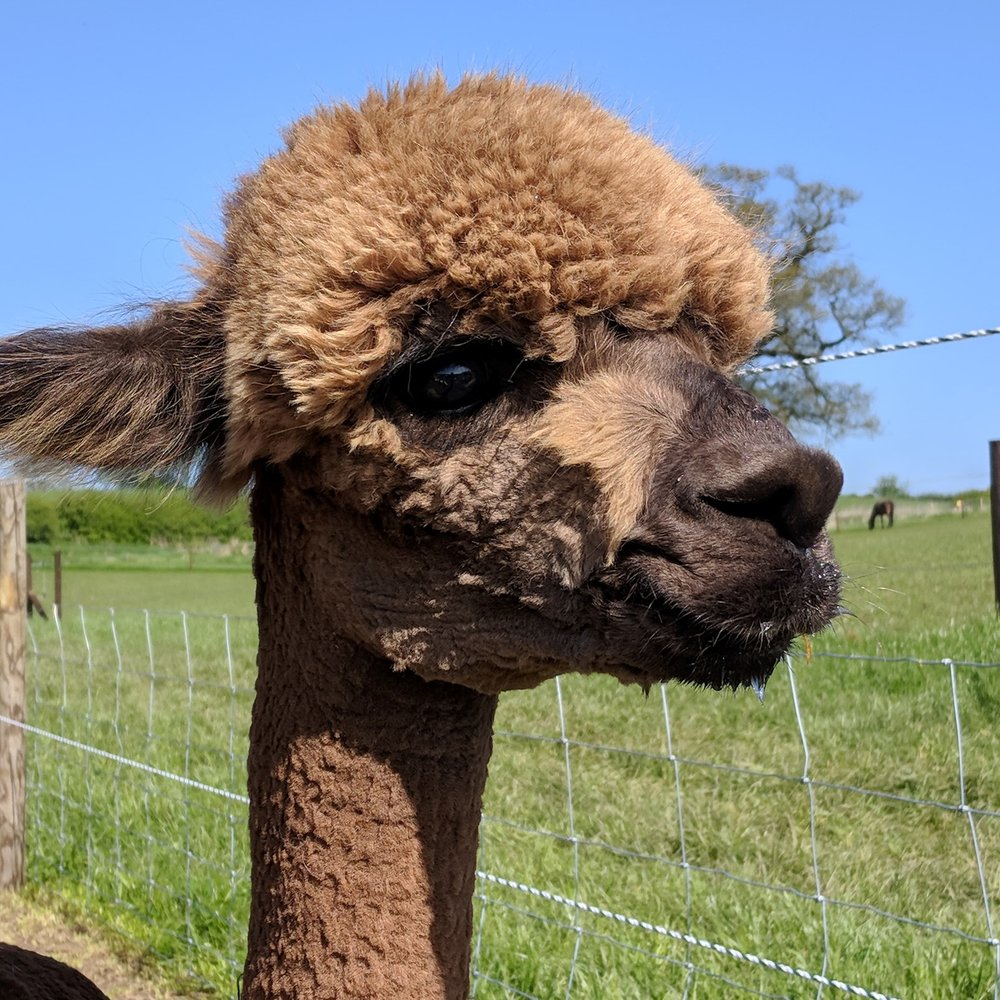 Accidentally on Purpose    DOB: 14/07/17    Colour: Light Brown    About: Daughter of fantasia - Accidentally on purpose has grown up fast and is a very chilled out alpaca who is always happy to say hello and of course get a treat or two!