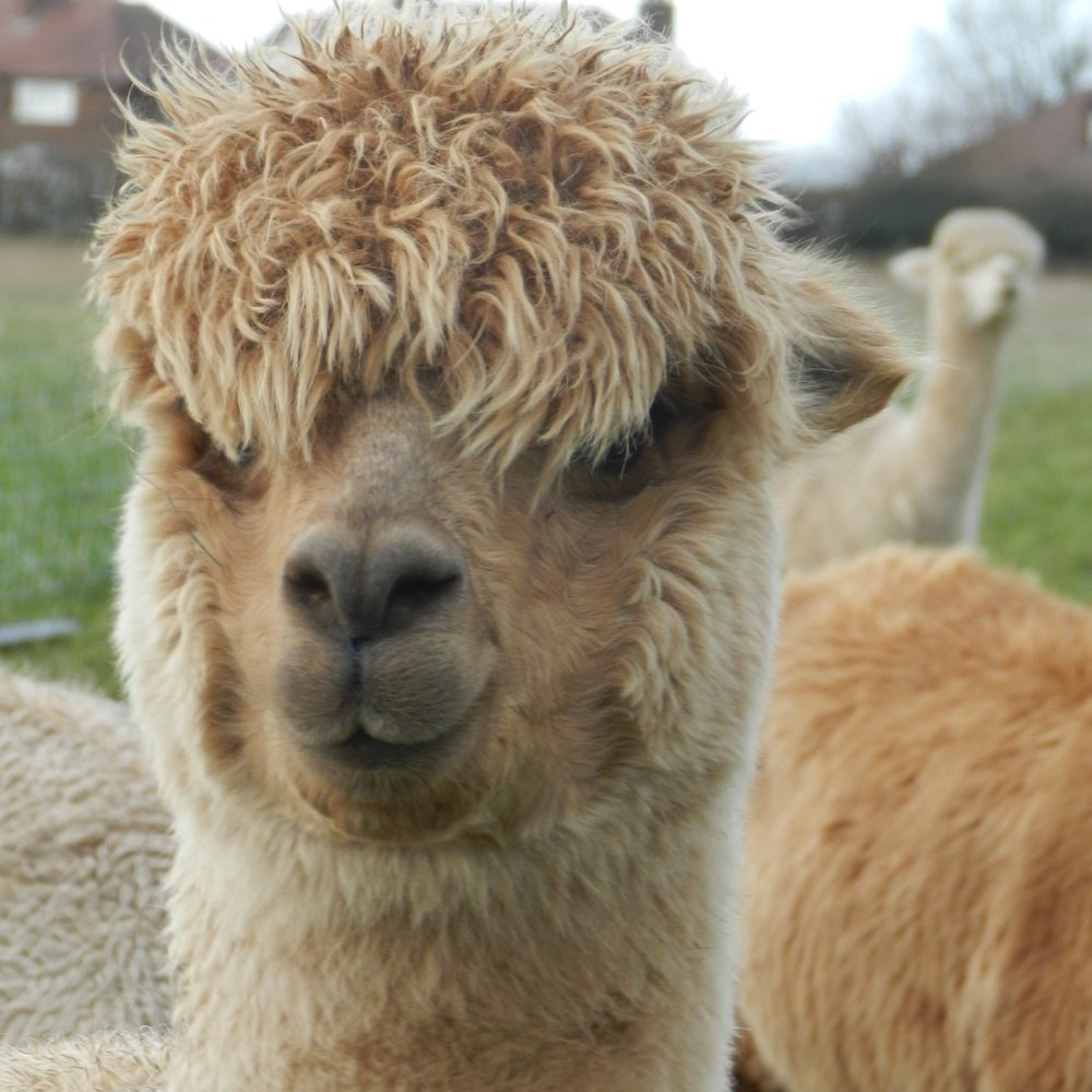 Saaphyri    DOB: 23/06/15    Colour: Medium Fawn    About: Saaphyri is a confident alpaca who is always happy to say hello and nibble on some yummy treats. She was the first to give birth this year to a beautiful little lady named Penny for them!