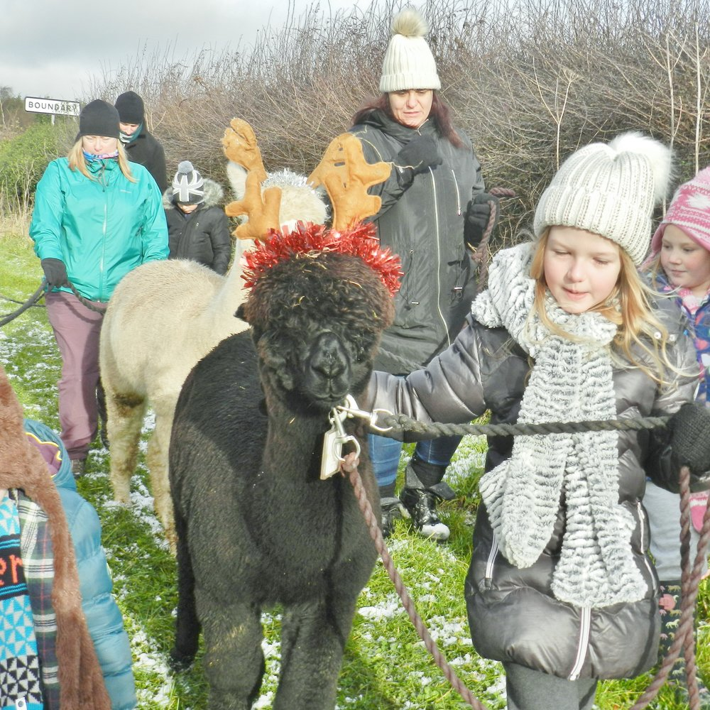 Christmas Reinpaca Walks - Take your reinpaca friend around our farm and surrounding paddocks with our classic 60 minute Reinpaca Walk.Available from 10 am - 2.30 pm Thurs - Mon throughout December